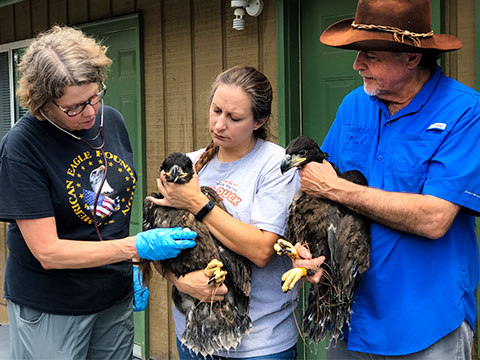 Dollywood's Eagle Mountain Sanctuary Graduates Two Eaglets
